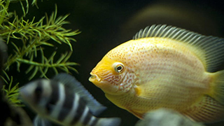 What Is The Best Food For Cichlids